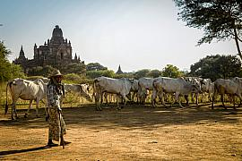 Photo Troupeau parmi les temples de Bagan • Myanmar